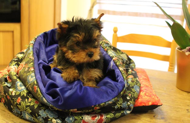 Photo bébé chiot Yorkshire dans son sac