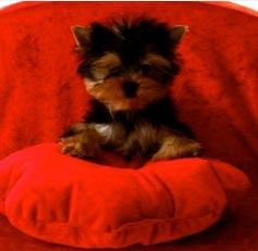 Bébé yorkshire sur un coussin rouge
